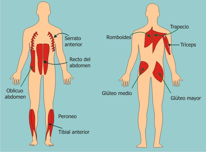 Musculatura 3