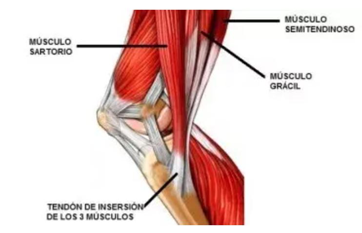 Pata de Ganso Músculos